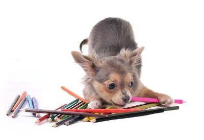 たくさんの色鉛筆とチワワ