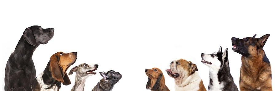 上を見上げる様々な種類の犬たち