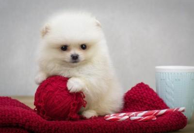 毛玉で遊ぶポメラニアンの子犬