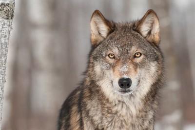 こちらを見つめる金色の目をしたオオカミ