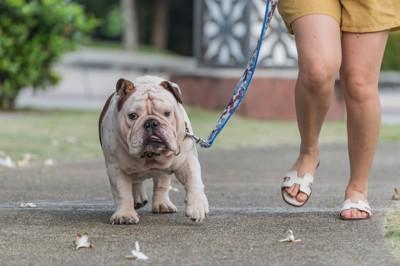 肥満気味の犬の散歩