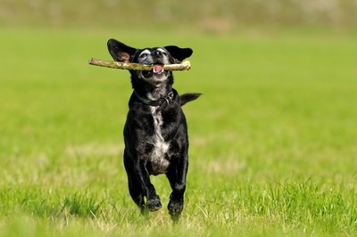 枝をくわえて芝生を走るシニア犬