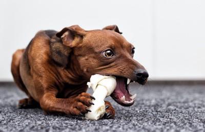 ガムを齧っている犬