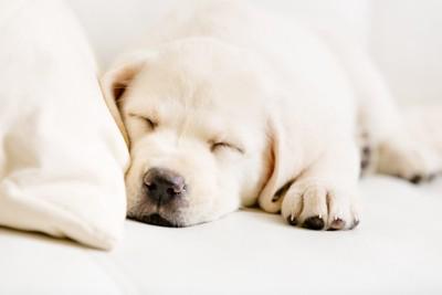 ソファーで眠っているラブラドールの子犬