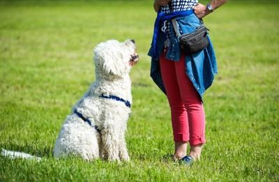 座って飼い主の指示を待つ犬