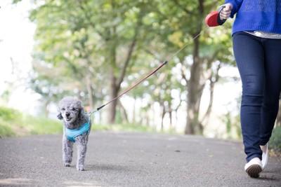 お散歩中のトイプードル、青いハーネス
