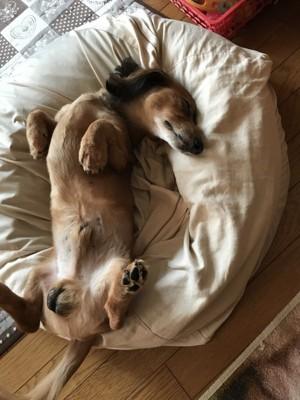 愛犬の寝顔写真2枚目