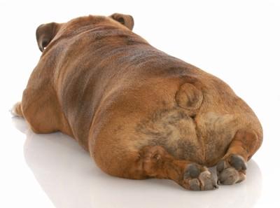 おしりをこちらに向けて寝る犬
