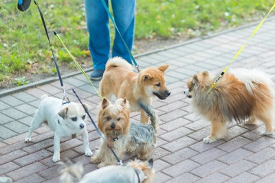 小型犬の集まり、五頭