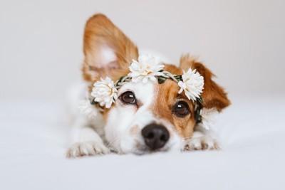 ジャックラッセルテリアの頭に白い花の飾り