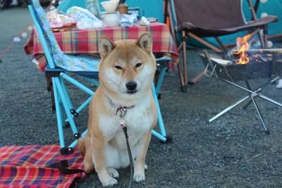 キャンプ場に座っている柴犬