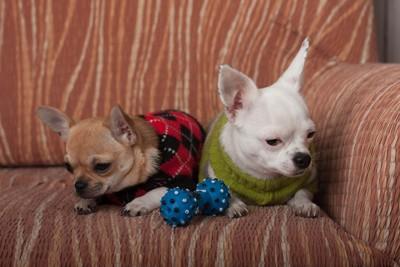 ソファ 小型犬