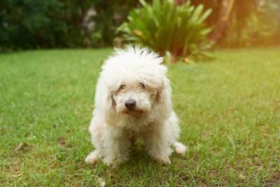 排便する犬