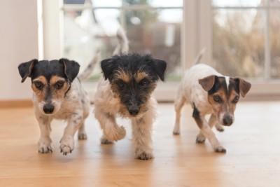 フローリングを歩く3匹の犬たち