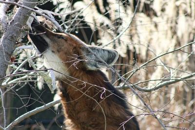 美しいタテガミオオカミ