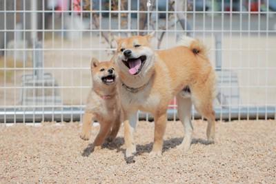 一緒に遊ぶ柴犬の子犬と成犬