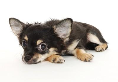 床に伏せて見上げる犬