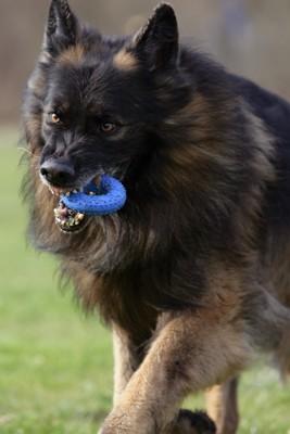 おもちゃを咥えて威嚇する犬