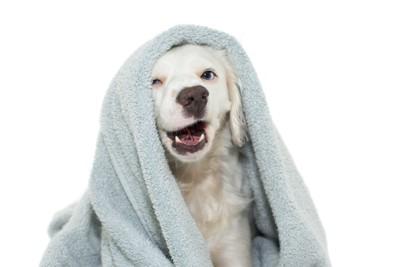 タオルを頭から被る子犬