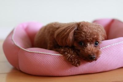 犬用ベッドにから見つめる犬