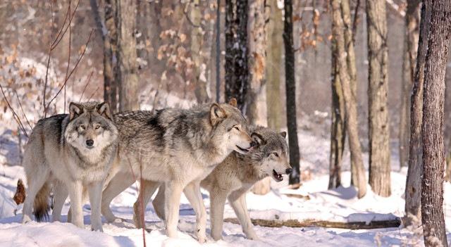 群れで行動するオオカミ