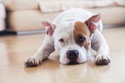 あごをつけて伏せる白茶の犬