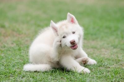 子犬が耳を痒がる写真