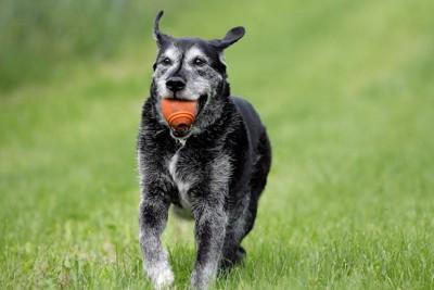 ボールをくわえたシニア犬