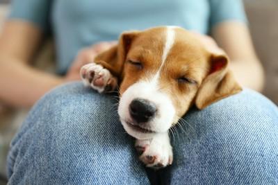 飼い主の膝の上で眠る子犬