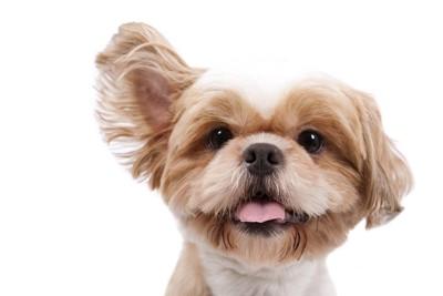 片方の耳を上げている犬の顔のアップ