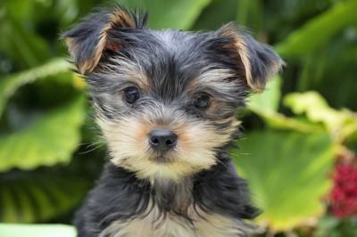 まっすぐにこちらを見つめるヨークシャテリアの子犬