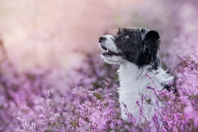 紫の花畑にいる白黒の犬の横顔