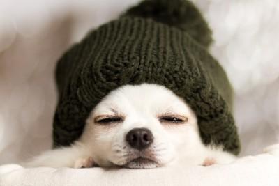 帽子を被って眠るチワワ