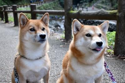 目を輝かせた2匹の柴犬