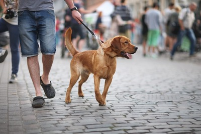 街中を男性と歩く垂れ耳の茶色い犬