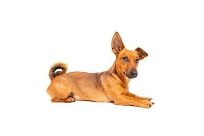 片耳を立てて伏せている犬