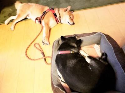 リードを付けたまま先住犬の側にいる犬