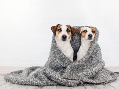 セーターにくるまった二匹の犬