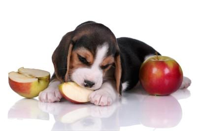 リンゴをかじる子犬