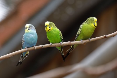木の枝にとまる三羽のインコ
