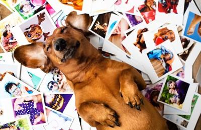 たくさんの写真の上で寝転ぶ犬