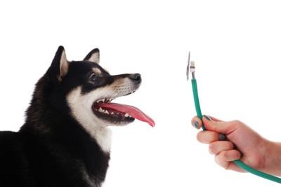 101174267 柴犬と聴診器