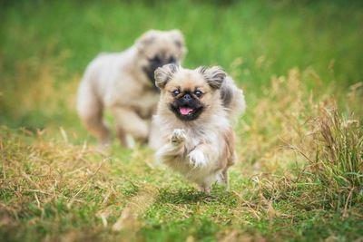 草むらで走るペキニーズの幼犬