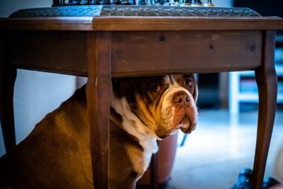 机の下に潜る犬