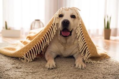 布を被ってフカフカしたカーペットの上にいる犬