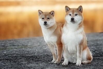 2頭の柴犬