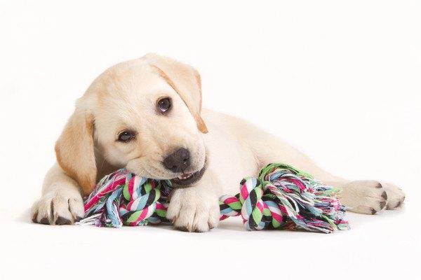 紐のおもちゃで遊ぶレトリバーの子犬