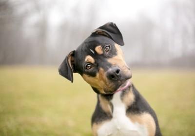首をかしげる垂れ耳の犬