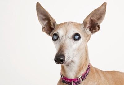 犬の眼が白い