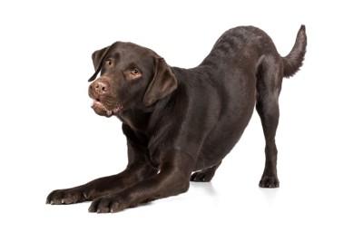 伸びている犬